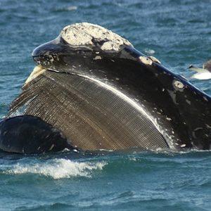 Observação de Baleias no Uruguai