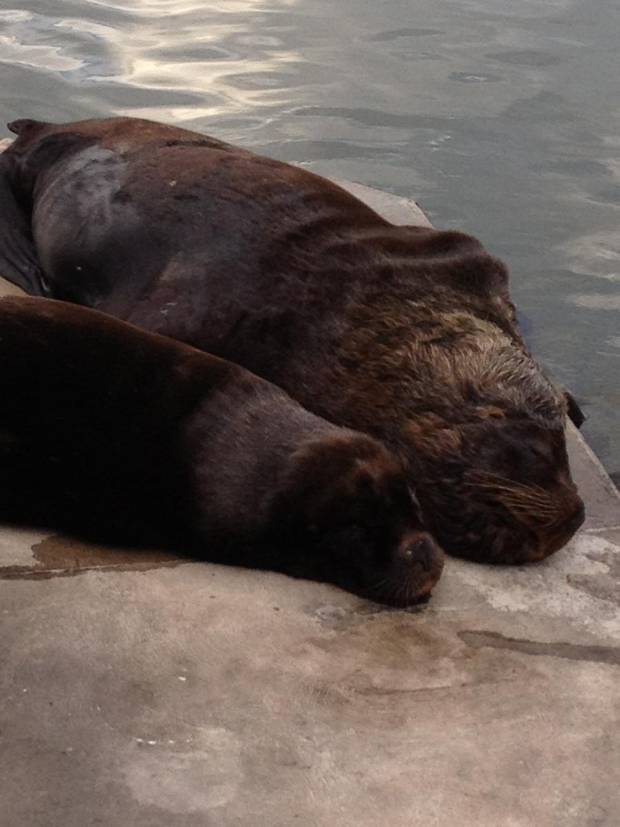 Lobos marinhos   Uruguai