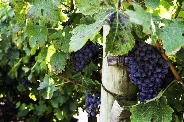 Vinho Tannat Uruguaio - Uva tannat vinho tannat merlot